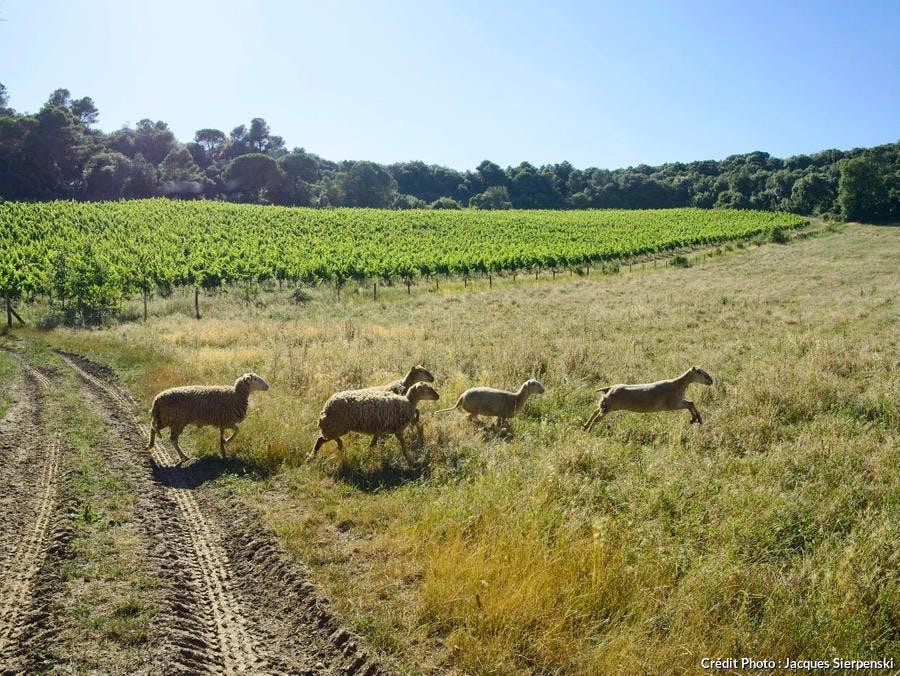 Vignes du Cabardès