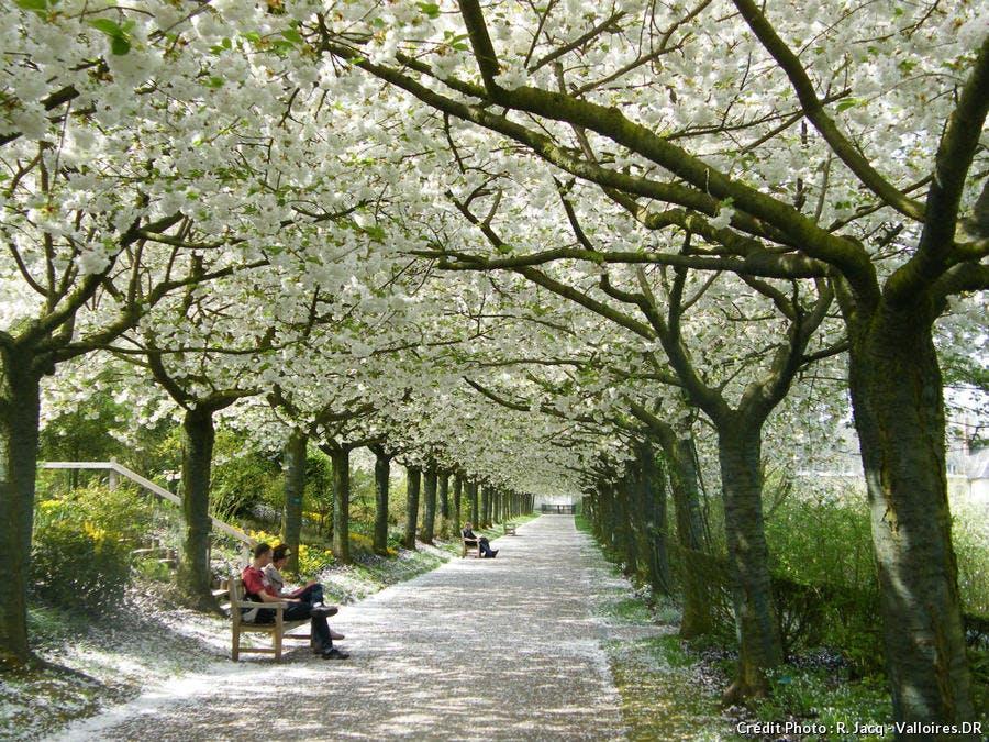 Cerisiers dans les jardins de Valloires