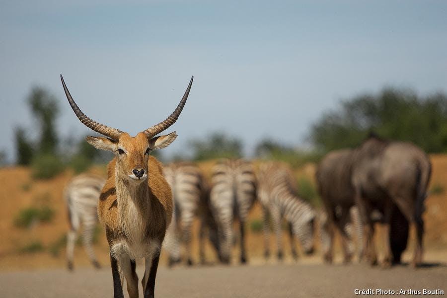 Impala au safari de Peaugres