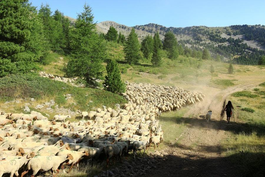 Troupeau de moutons sur les drailles