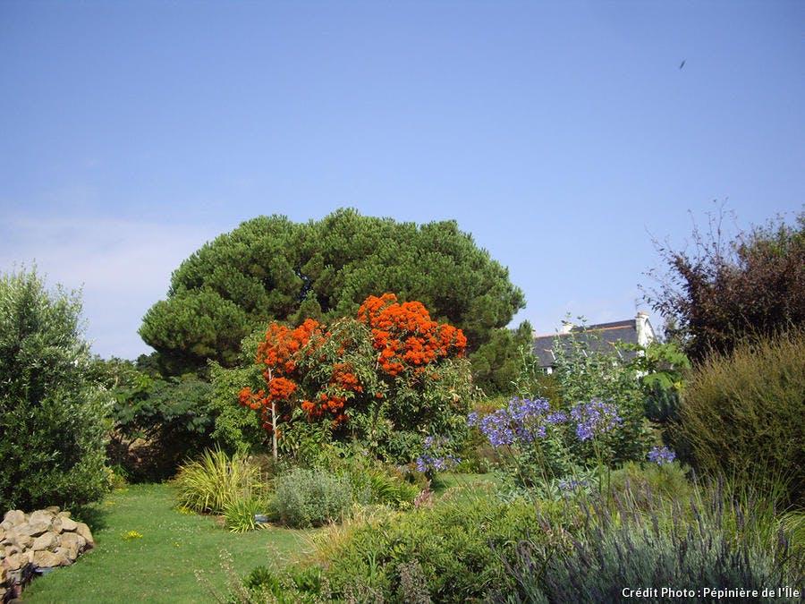 det_brehat_eucalyptus_ficifolia_2012-1.jpg