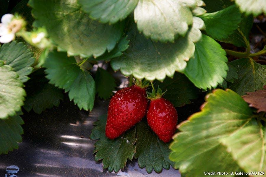 fraises de plougastel
