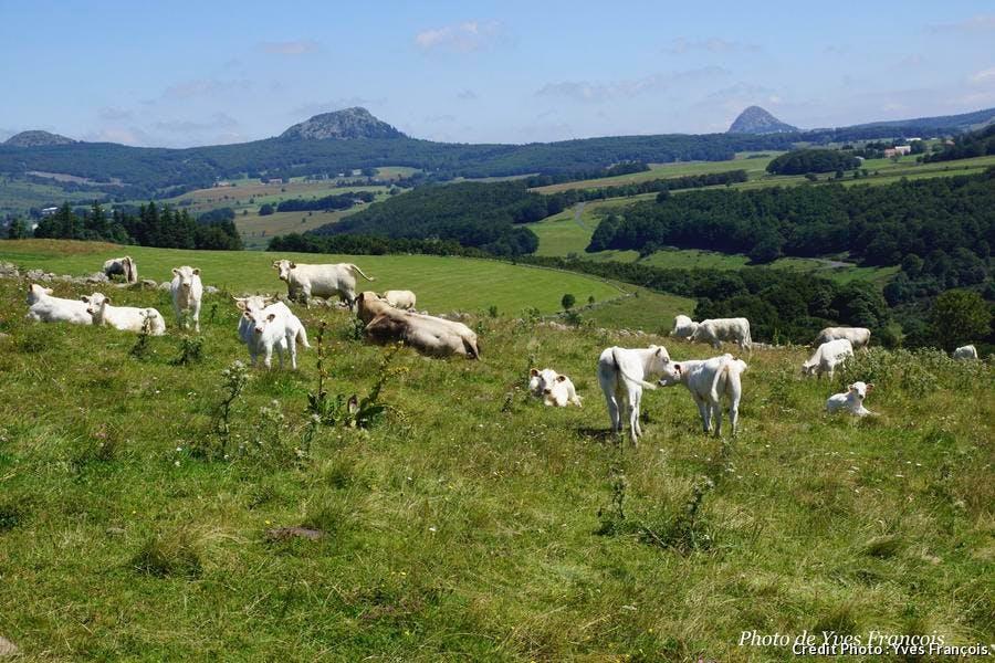 paysage de sucs et vaches