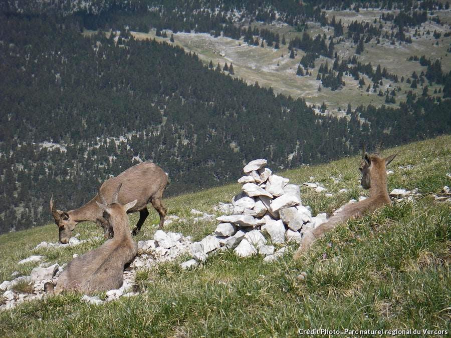 chamois dans le Vercors