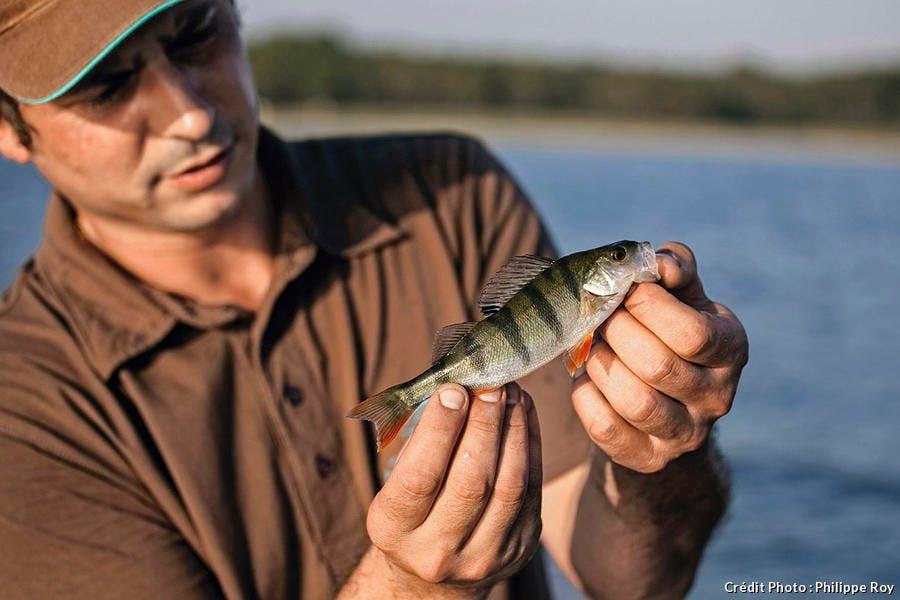 Une perche pêchée dans le lac de Sanguinet.