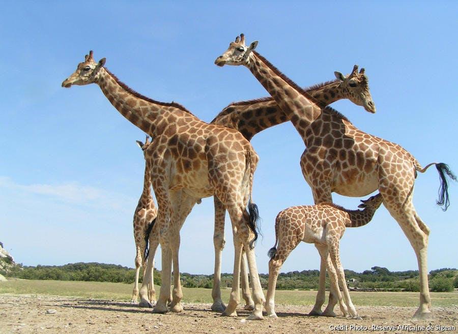 Les girafes de la réserve de Sigean