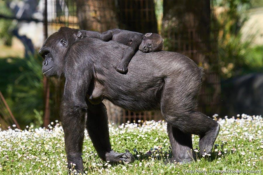 Bébé gorille et sa maman au zoo de la Palmyre