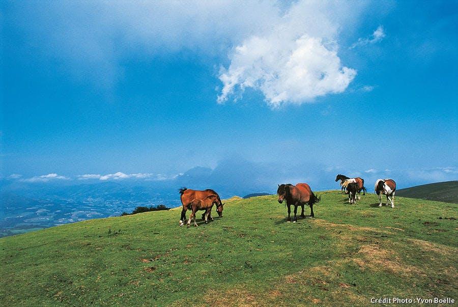 Pottocks en liberté dans les Pyrénées