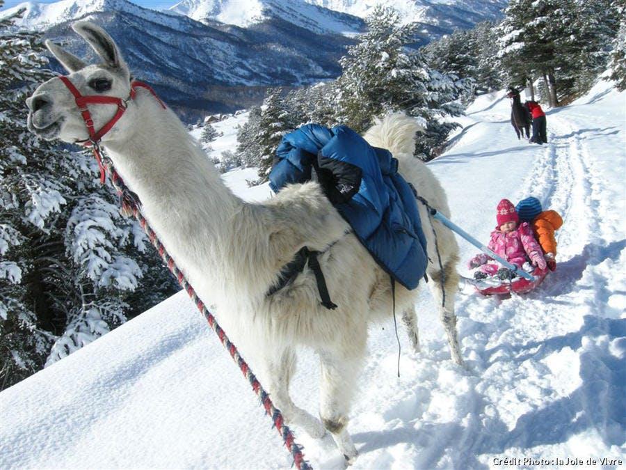 Le lama luge en hiver