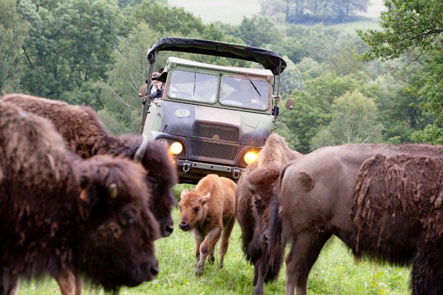 Safari avec des bisons dans le Limousin