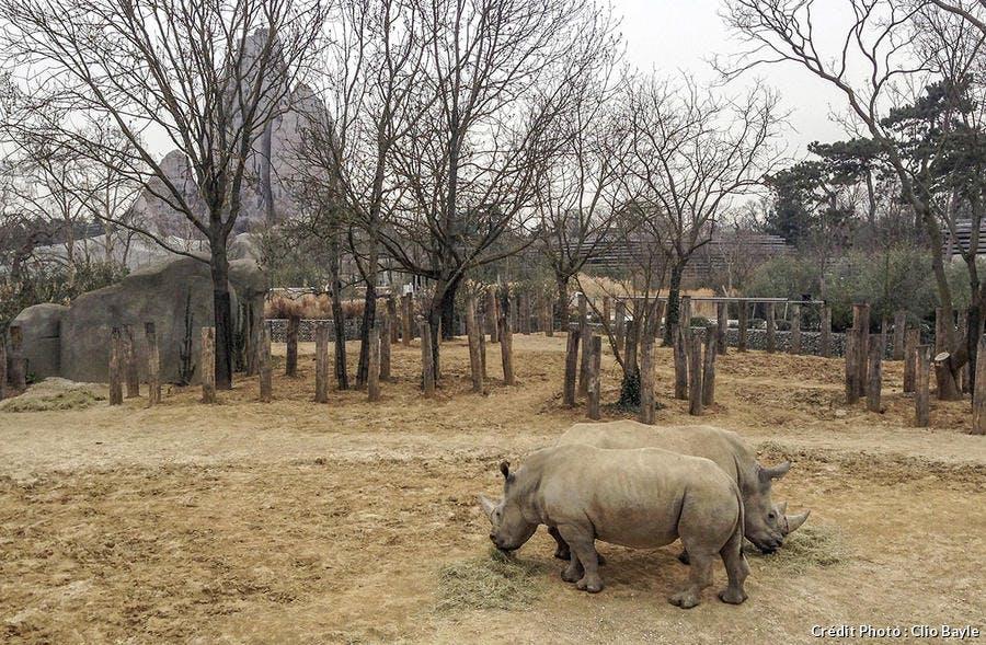 Les rhinoceros blancs de Vincennes