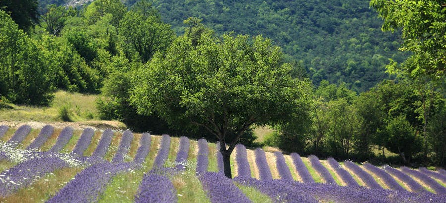 Paysage de lavande dans la Drôme