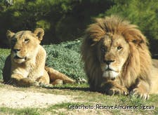 Couple de lions à la réserve de Sigean