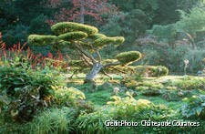 Les arbres taillés en nuage du jardin de Courances