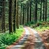 Forêt d'épicéa et pins Douglas dans le massif des Monédières (Limousin)